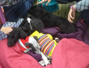 perritos_Feria adopción