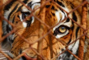 tigre-en-jaula